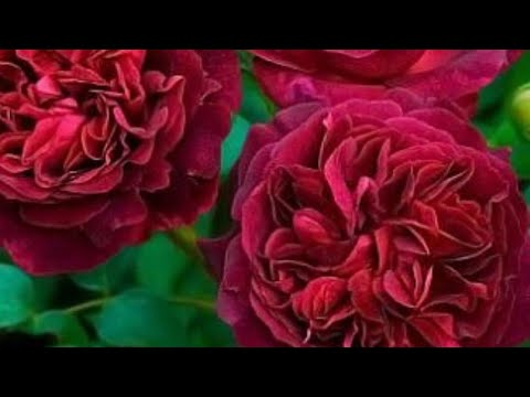 РОЗЫ. ВРЕДИТЕЛИ РОЗ. Трипсы на розах борьба с ними, системно.