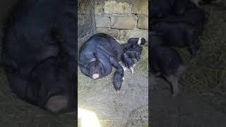 видео: Свиноматка кидается на поросят после опороса. Что