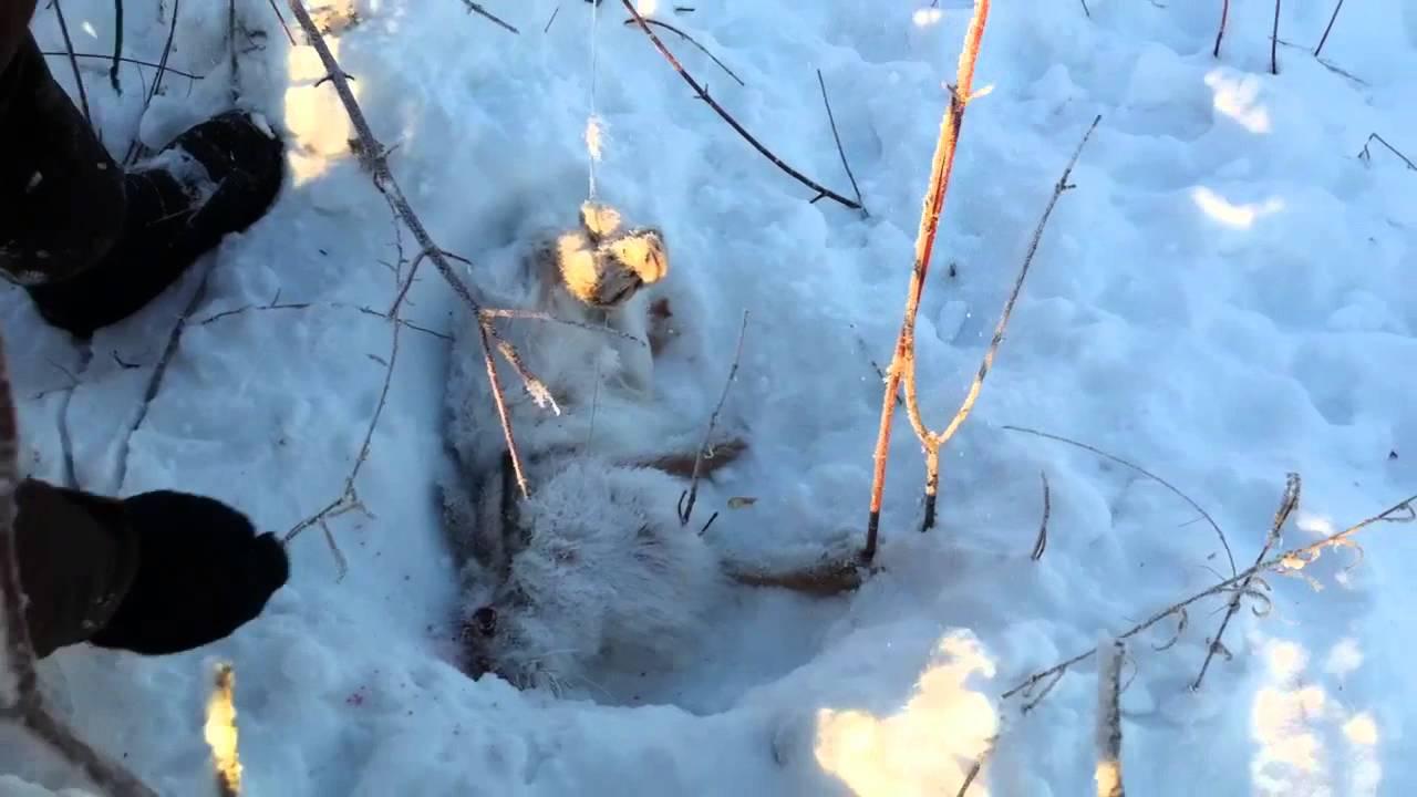 видео на правах автор  ловлю зайцев получай петлю