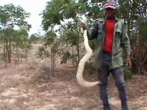 Catching Puff Adder For Wildlife Trade, Ghana