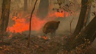 Woman rescues koala from Australian brush fires