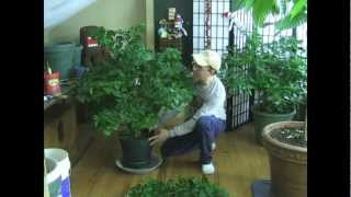 Final Tip for Super strong HUGE pepper plants!