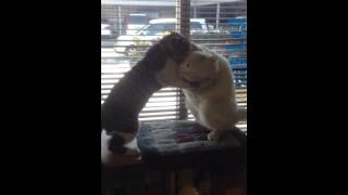 飼い猫ロッキードとペンスキーのよくやるケンカです。