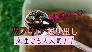 【女性に大人気】パプアキンイロクワガタを掘り出し!      【昆虫飼育】【パプキン】
