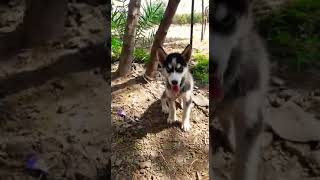 Siberian Husky Puppies Price In India