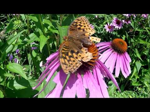 Great Spangled Fritillary Butterfly In Toronto