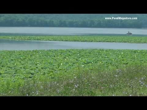 Nelumbo Lutea, Tappan Lake Ohio, Native American Lotus