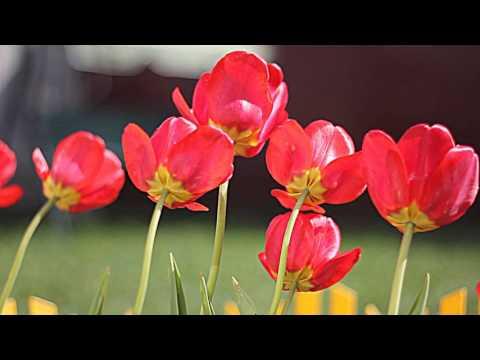Живые обои Тюльпаны на ветру