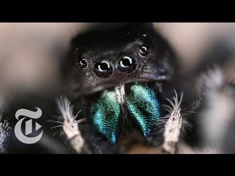 Inside a Jumping Spider's Brain | ScienceTake | The New York Times