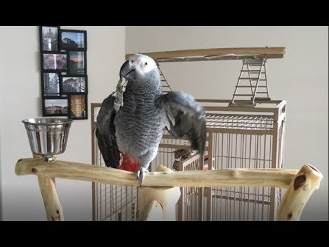 Macy (African Grey Parrot) Gets Trained on New Perch w/Talking