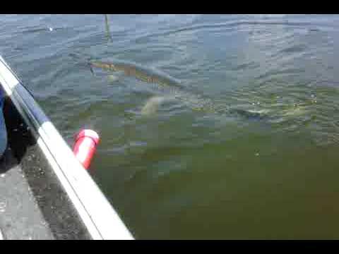 Alligator gar fishing jug line 35 pounder youtube for Jug line fishing