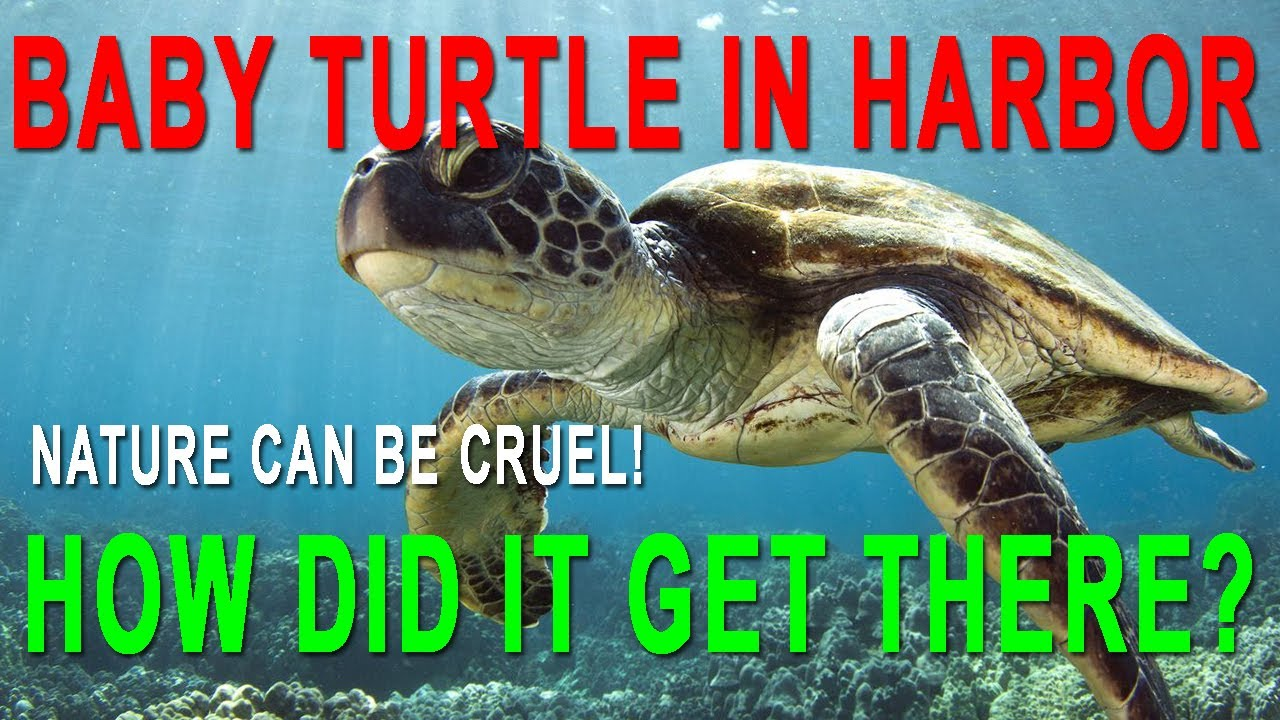 Baby Turtle Trapped In Harbor Hawaii Youtube