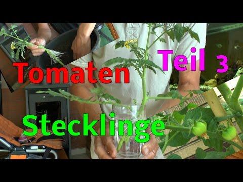 stecklinge von tomaten bewurzeln im wasser ganz schnel doovi. Black Bedroom Furniture Sets. Home Design Ideas
