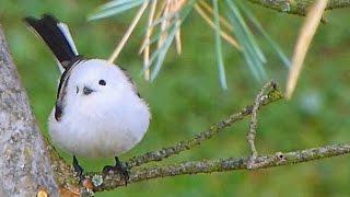 雪球鳥。銀喉長尾山雀