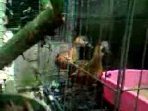 SUARA  BURUNG   BELIBIS  SEPASANG  ( Whistling Duck )