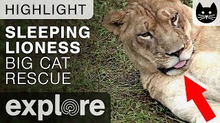This is what happens when a lion gets tired (funny!)  - Lion Live Cam Highlight 10/02/17