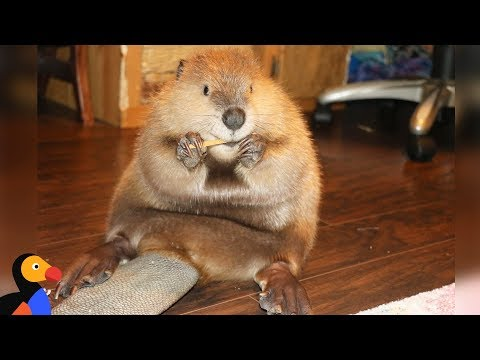 Rescue Beaver Loves Building Dams In His House - JUSTIN BEAVER | The Dodo