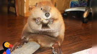 Rescue Beaver Loves Building Dams In His House  JUSTIN BEAVER | The Dodo