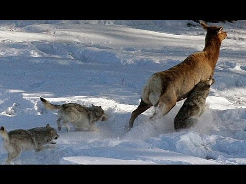 Wolves in Yellowstone National Park   wolf watching