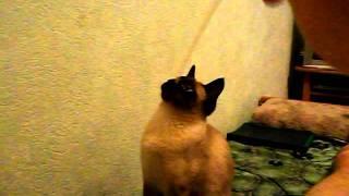 Сиамский кот Каспер играет.