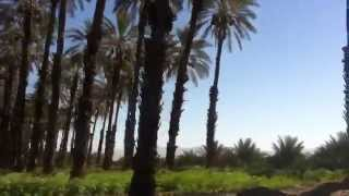 Overgrown Palm Tree Farm in Coachella California