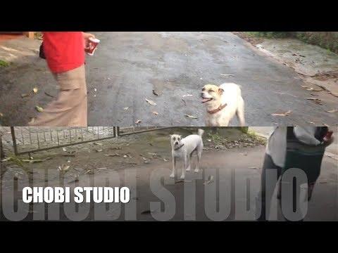 【マンガロール犬チョビさん】 ふたつの角度から見るひとつの場面 Mangalorean Dog Chobi