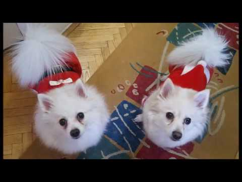 German Spitz: Jingle Bells - Spitz Version :)