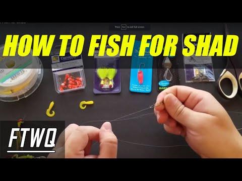 Shad Fishing And Shad Fishing Tips. The Shad Fishing Rig