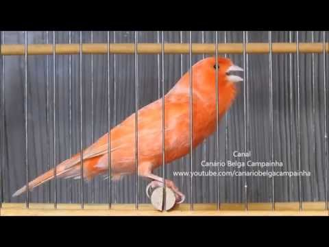 canario vermelho cantando muito