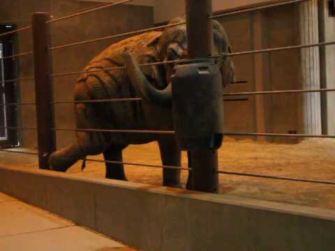 Elephants at Smithsonian's National Zoo