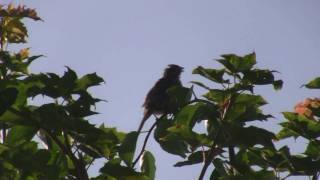 What dinosaurs might have sounded like. Song sparrow slowed down, lowered 3 octaves.