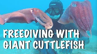 FREEDIVING WITH GIANT CUTTLEFISH AT SHELLY BEACH (UNDERWATER VLOG EPISODE 8)
