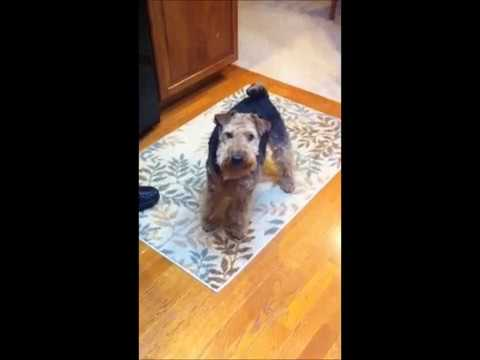 Welsh Terrier Griffey shows a few of his training tricks