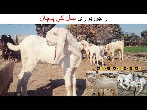 176-|-identity-of-rajan-pori-breed-|-راجن-پوری-نسل-کی-پہچان-|-rajan-pori-bakra