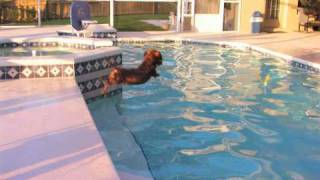 The Diving Dachshund V2