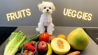 Puppy tasting fruits and veggies  Cute Maltese Dog