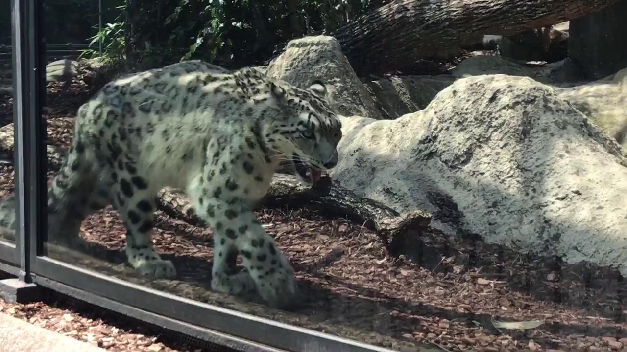 Snow Leopard Pacing At La Menagerie Le Zoo Du Jardin Des Plantes