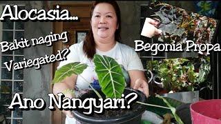 Bakit Naging Variegated? Anong Nangyari? #Alocasia Green Velvet By Lola Malyn