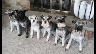 They Make Me Laugh All The Time | Life With 6 Schnauzers