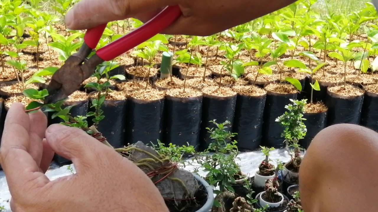 Uốn cây sam hương mini