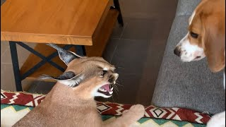 Caracal and beagle puppy playing  unusual animal friends  dog and cat friends