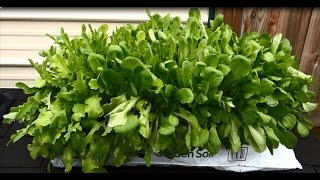 Growing Lettuce in a Bag of Soil - Easy and Yummy