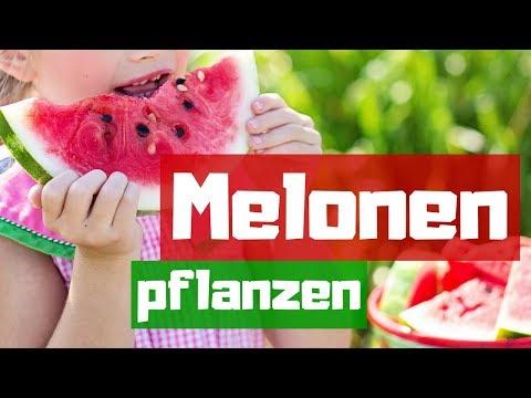 MELONEN ERFOLGREICH ANPFLANZEN -  Wassermelonen aus dem eigenen Garten