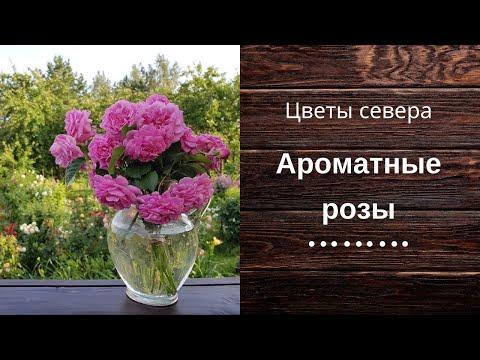 Ароматные розы на даче.