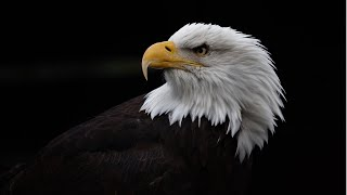 Fun videos for kids || Bald Eagle || American Eagle || The Golden Eagle || Birds || Animals ||