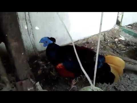 sempidan. sempidan biru. ayam sempidan. lophura ignita. crested fireback pheasant