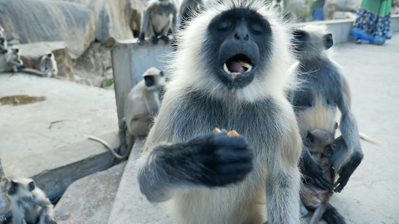 Funny Monkeys.Indian Langur snatching and eating food.Hanuman Bandar.Macaque.Monkey  - YouTube