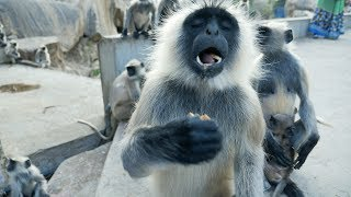 Funny Monkeys.Indian Langur snatching and eating food.Hanuman Bandar.Macaque.Monkey