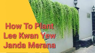 Menanam Janda Merana Lee Kwan Yew Vernonia Elliptica Subtitle English Indonesia Youtube