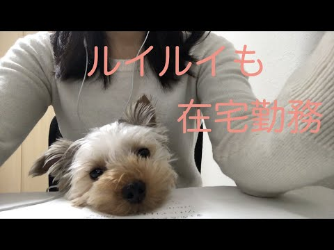 ルイルイも在宅勤務 【ヨークシャテリア 】【Yorkshire terrier】